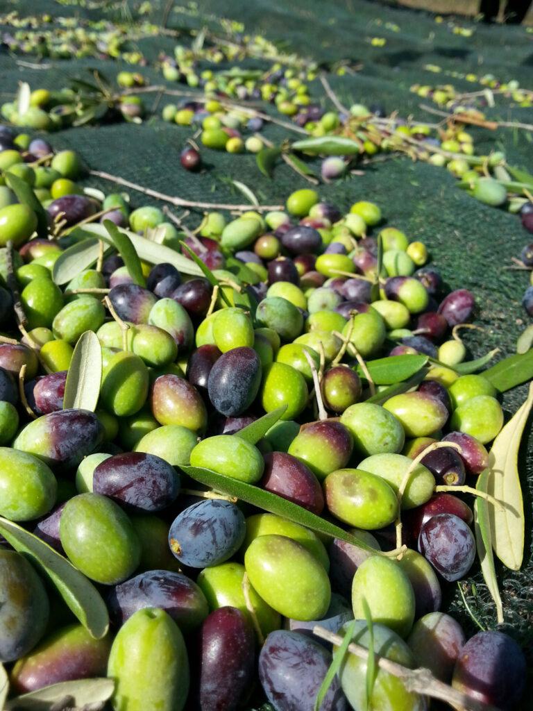 Olijven voor de olijfolie van Azienda Agricola Rabitti Toscane Italiaanse landgoedwinkel Landrucci Utrecht